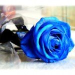 """STOP appreciate a blue rose"""